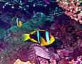Orange-fin anemonefish, Amphiprion chrysopterus