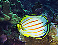 Ornate butterflyfish, Chaetodon ornatissimus, Hawaii
