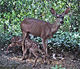Two fawns nursing