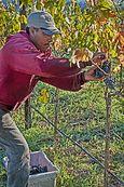 Picking grapes #1