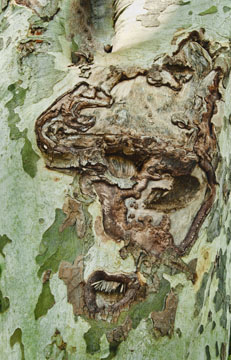 Plane tree face