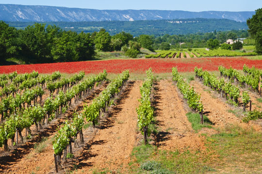 Vineyard in the Luberon