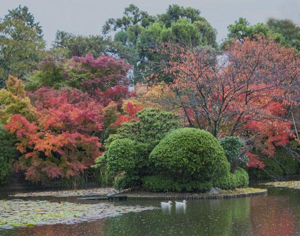 Ducks in pond 2, Ryoan-ji