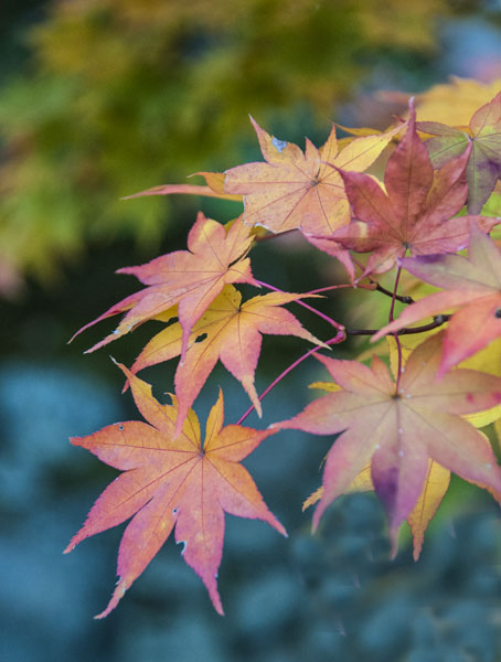 Maple leaves 1