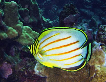 Ornate butterflyfish, Chaetodon ornatissimus, Hawaii