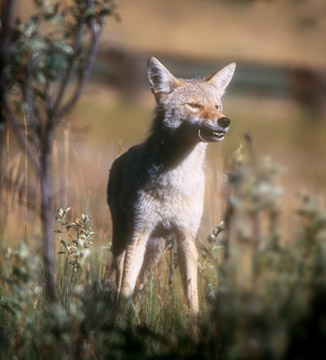 Coyote with mouse