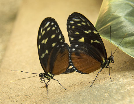 Golden helicon butterflies mating