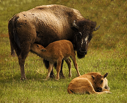 Nursing Bison cleaned up*