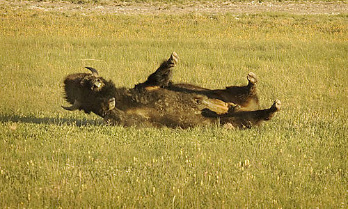 Rolling Bison 2