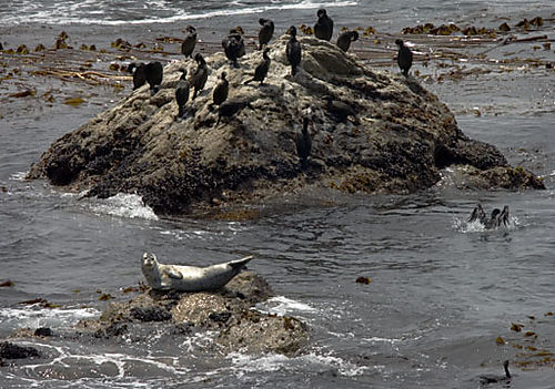 Seal and cormorants
