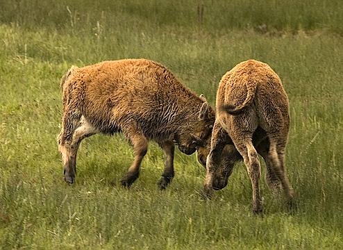 Juvenile Bison Sparring