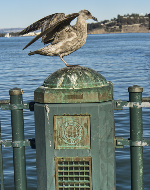 Juvenile Herman's Gull
