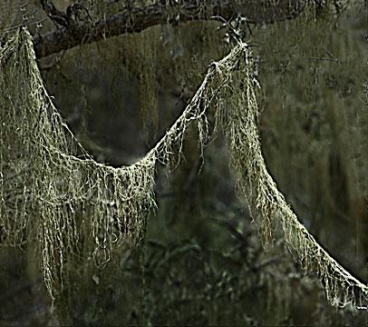 Lace Lichen #2