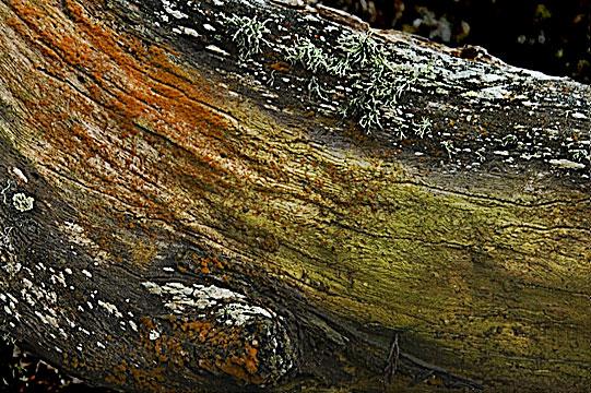 Trentepohlia on log
