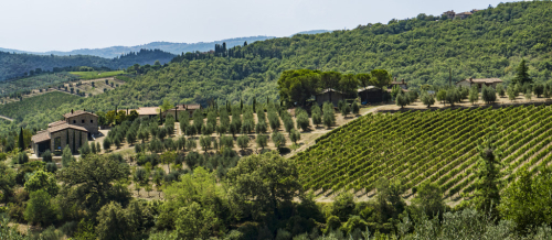 Vines and olives